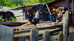 Color rooster is walking on village backyard Stock Footage