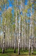 Evening sunny birch grove in first spring greens on blue sky Stock Photos