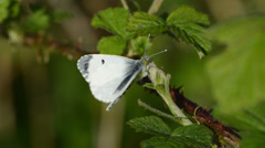 Close Up of a Female Orange Tipped Butterfly with Wings Open Stock Footage