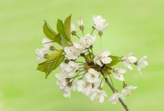 spring flower - stock photo