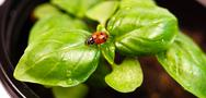 Stock Photo of new start plant sweet basil herb leaf ladybug insect