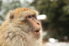 Barbary ape Stock Photos