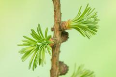 larch spring - stock photo