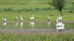 Flock of white swan on river Stock Footage