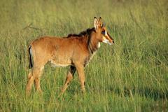 Sable antelope calf Stock Photos