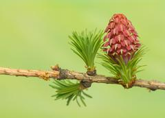 larch flower - stock photo