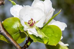 flowers of the apple-tree after the rain - stock photo