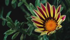 Flower Purple and Yellow leaves bloom. Stock Footage