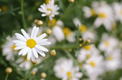 Flowers camomile Stock Footage