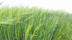 Wheat crop in rainy weather - protune Stock Footage