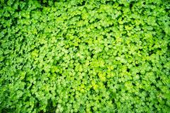 Whitetip clover Stock Photos