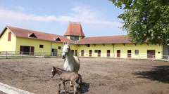 Lipizzaner horse and foal in corral Stock Footage