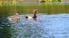 Two Red-crested Pochards,migratory, bird, Diving duck, Rhodoness - stock photo