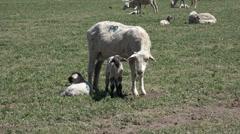 Sheep herd ewe and lambs farm field 4K 030 Stock Footage