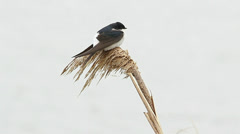 House martin resting on reed / Delichon urbica - stock footage