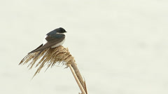 House martin resting on reed / Delichon urbica Stock Footage