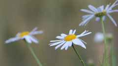 Gorgeous daisy flower outdoor, blur background Stock Footage