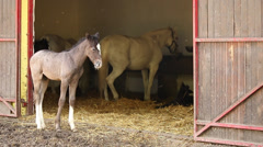 Stable with lipizzaner foal and horse Stock Footage
