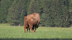 Happy baby bison feed from mother aurochs in nature, free animal, green forest Stock Footage