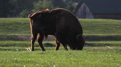 Huge moult bison nibbble grass on spring meadow, impressive slough aurochs graze Stock Footage