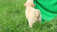Hulking beige puppy playing with a veil on the green lawn near the house Stock Footage