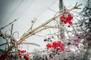 Stock Photo of red rowan tree in winter forest