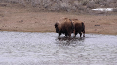 Bison in Pond in Yellowstone National Park's Lamar Valley Stock Footage