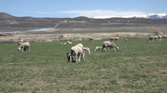 Sheep herd in farm field spring 4K 031 Stock Footage