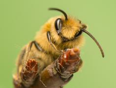 bee - apis mellifera - stock photo