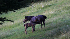 Baby colt suck from mother horse on green hill, foal and horse feeding together Stock Footage
