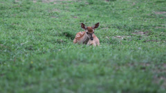 Lovely baby dear sit on the green grass and nibble the plant, wildlife Stock Footage