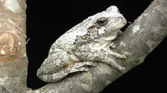 Gray Tree Frog (Hyla versicolor) Stock Footage