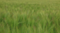 Wheat Blowing in the Wind Stock Footage