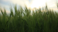 Young green ear of the wheat in agricultural field swinging on the wind Stock Footage