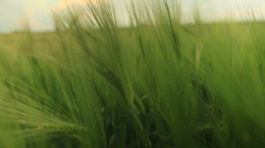 Hand touching wheat during spring Stock Footage