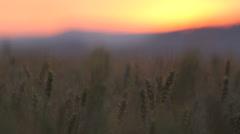 Colored sunset over the tripe grain, beautiful nature, splendid painture Stock Footage