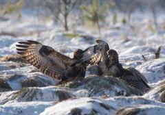 buzzard - stock photo