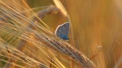 Splendid blue butterfly fly away from yellow wheat spike Stock Footage
