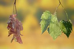 abstract concept of life and death with faded and green vineyard  leaves, dis - stock illustration