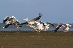 Flock of great pelicans ( pelecanus onocrotalus ) taking flight from the beac Stock Photos
