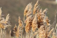faded reeds ( phragmites communis ) in late winter - stock photo