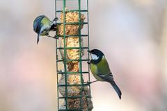 Two different species (great tit, parus major and blue tit, parus caeruleus) Stock Photos