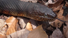 Northern Water Snake (nerodia sipedon) Stock Footage