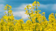 Stock Video Footage of Bees collecting nectar from yellow wild flowers to make honey