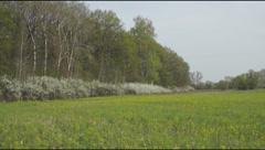 Blackthorn bushes bloom Stock Footage