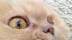 Macro persian cat face Stock Footage