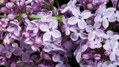violet lilac blooming timelapse - stock footage