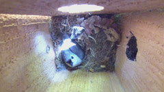 Tufted Titmouse Nest Stock Footage