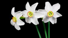 Bunch of white narcissus flowers blooming timelapse Stock Footage