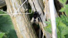 Close Up of a Bumblebee Cleaning Itself Stock Footage